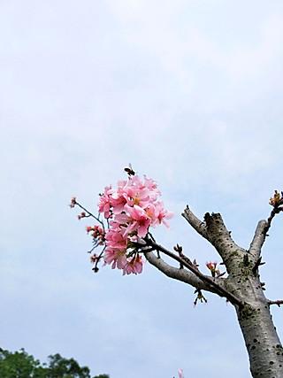 楚楚小厨的正是樱花🌸浪漫时