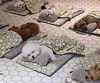 天天65的这是国外一家狗狗日托所,和小伙伴们疯玩一通,吃饱喝足,狗子们都乖乖躺下休息了!