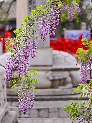 车车子的东岳庙的紫藤花已经花开尾期了,这个周末赶紧追追花期吧。